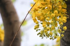 Cassia fistulagolden shower tree, mostly blooming in summer May days. It`s also the national flower of Thailand.  Stock Photo