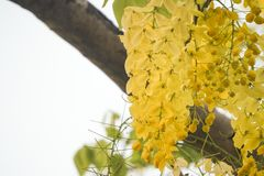 Cassia fistulagolden shower tree, mostly blooming in summer May days. It`s also the national flower of Thailand.  Royalty Free Stock Image