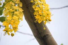 Cassia fistulagolden shower tree, mostly blooming in summer May days. It`s also the national flower of Thailand.  Stock Images
