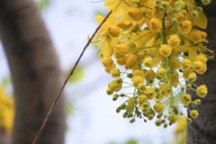 Cassia fistulagolden shower tree, mostly blooming in summer May days. It`s also the national flower of Thailand.  Royalty Free Stock Photo