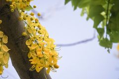 Cassia fistulagolden shower tree, mostly blooming in summer May days. It`s also the national flower of Thailand.  Royalty Free Stock Images