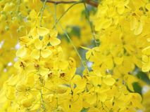 Cassia flower. Cassia is a national tree. Is a sacred wood that are important to Thailand Because the flowers are bright yellow ring Raya which color of Buddhism royalty free stock photography