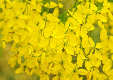 Cassia Flower Fotografía de archivo