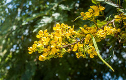 Cassia Flower Imagens de Stock Royalty Free