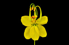 Cassia flower Stock Photo