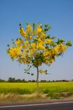 Cassia flower tree Royalty Free Stock Photo