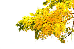 The cassia flower Royalty Free Stock Image