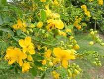 Cassia flower. Yellow Cassia flowers and fruits stock photography
