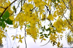 Cassia flowers are naturally yellow. royalty free stock photo