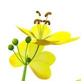 Cassia (genus) Royalty Free Stock Photos