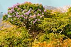 Cassia Grandis Imagens de Stock
