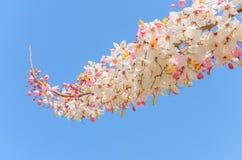 Cassia Grandis Flowers Arkivbild