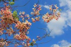 Cassia grandis flowers. Cassia grandis flowers on blue sky Royalty Free Stock Photo