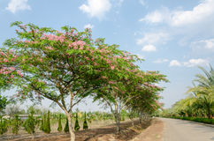 Cassia javanica flower on tree Royalty Free Stock Images