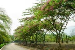 Cassia javanica flower on tree Stock Image