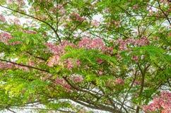 Cassia javanica flower on tree Royalty Free Stock Photos