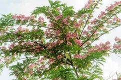 Cassia javanica flower on tree Stock Photography
