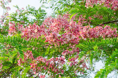 Cassia javanica flower on tree Royalty Free Stock Photography