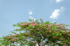 Cassia javanica flower on tree Stock Photo