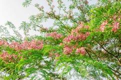 Cassia javanica flower on tree Stock Images