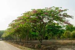 Cassia javanica flower on tree Stock Photos