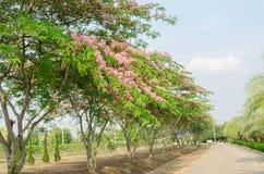 Cassia javanica flower on tree Royalty Free Stock Photo