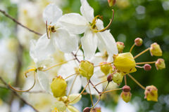 Cassia javanica Royalty Free Stock Images