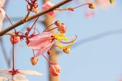 Cassia javanica Royalty Free Stock Image