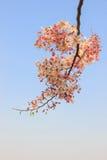 Cassia javanica Stock Images