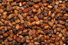 cassia kärnar ur semen Arkivfoto