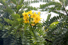 Cassia leptophylla, Gold medallion tree. Tree with pinnate compound green leaves with 9-14 pairs of narrow leaflets, fragrant yellow flowers and 4-angled long Stock Photo