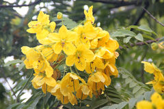 Cassia leptophylla, Gold medallion tree. Tree with pinnate compound green leaves with 9-14 pairs of narrow leaflets, fragrant yellow flowers and 4-angled long Stock Images