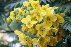 Cassia leptophylla, Gold medallion tree. Tree with pinnate compound green leaves with 9-14 pairs of narrow leaflets, fragrant yellow flowers and 4-angled long Royalty Free Stock Photo