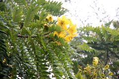 Cassia leptophylla, Gold medallion tree. Tree with pinnate compound green leaves with 9-14 pairs of narrow leaflets, fragrant yellow flowers and 4-angled long Royalty Free Stock Image