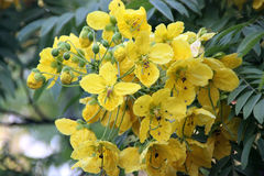 Cassia leptophylla, Gold medallion tree. Tree with pinnate compound green leaves with 9-14 pairs of narrow leaflets, fragrant yellow flowers and 4-angled long Royalty Free Stock Images