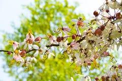 Cassia1 rosa Fotografia Stock