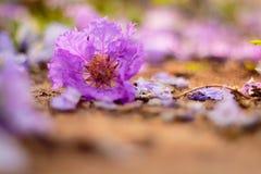Cassia rosa Immagine Stock