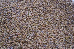 Cassia seed Stock Images