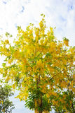Cassia tree Stock Images