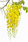 Cassia on white background. Stock Photography