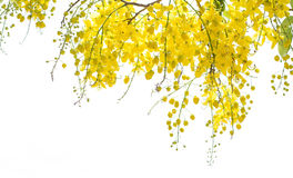 Cassia. Yellow flowers no white background stock photography
