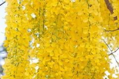 Cassiafistel eller guld- dusch, nationell blomma av Thailand fotografering för bildbyråer