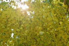 Cassiafistel i gul blom i sommar arkivbild