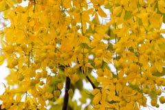 Cassiafistelblomma på trädet för bakgrund Arkivfoton