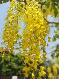 Cassiafisteln, härlig guling, kan användas som en bakgrundsbild arkivbilder