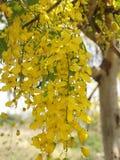Cassiafisteln, härlig guling, kan användas som en bakgrundsbild royaltyfri bild
