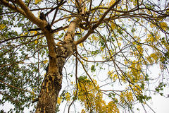 Cassiaträd arkivbild