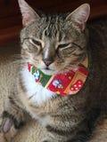 Cassidy η διαβητική γάτα Στοκ Εικόνες