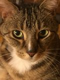 Cassidy η διαβητική γάτα Στοκ εικόνα με δικαίωμα ελεύθερης χρήσης