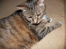 Cassidy η διαβητική γάτα στοκ φωτογραφίες